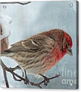 Snow Day Housefinch With Texture Acrylic Print