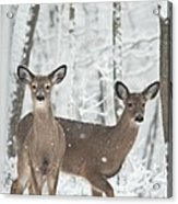 Snow Deer Acrylic Print