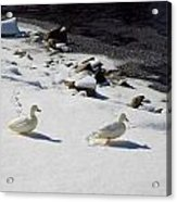 Snow Ducks Acrylic Print