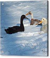 Snow Ducks Acrylic Print