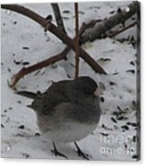 Snow Finch Acrylic Print