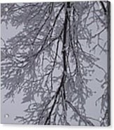 Snow Frosted Branches Acrylic Print