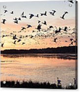 Snow Geese At Chincoteague Last Flight Of The Day Acrylic Print