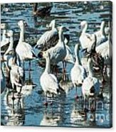 Snow Geese Discussion Acrylic Print