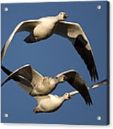 Snow Geese Flying Acrylic Print