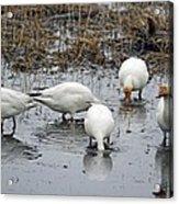 Snow Geese Muddy Waters Acrylic Print