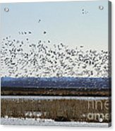 Snow Geese Taking Off At  Loess Bluffs National Wildlife Refuge Acrylic Print