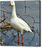 Snow Goose Acrylic Print