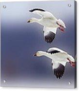 Snow Goose Flight Acrylic Print by Bill Tiepelman