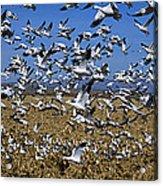 Snow Goose Flock Taking Off Acrylic Print
