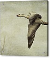 Snow Goose In Flight Acrylic Print