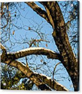 Snow In Oak Acrylic Print