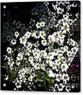 Snow In Summer Acrylic Print