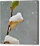 Snow Kissed Acrylic Print