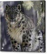 Snow Leopard 1 Acrylic Print