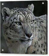Snow Leopard 15 Acrylic Print