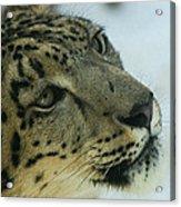 Snow Leopard 2 Acrylic Print