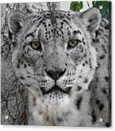 Snow Leopard 5 Acrylic Print
