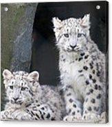 Snow Leopard Cubs Acrylic Print