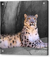 Snow Leopard II Acrylic Print