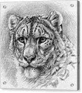 Snow Leopard - Panthera Uncia Acrylic Print