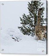 Snow Leopard Periscope Acrylic Print