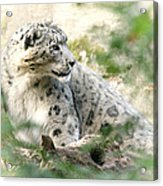 Snow Leopard Pose Acrylic Print