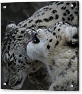 Snow Leopards Acrylic Print