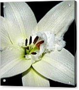 Snow Lilly Acrylic Print