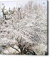 Snow Maple Acrylic Print