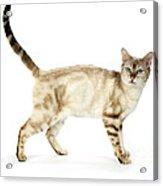 Snow Marble Bengal Cat Acrylic Print