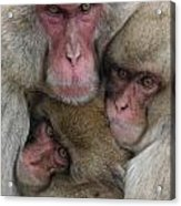 Snow Monkey And Young Acrylic Print