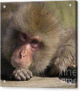 Snow Monkeys-just Hanging Out Acrylic Print