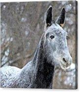 Snow Mule Acrylic Print