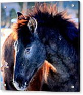 Snow Nose  Acrylic Print by Jeanne  Bencich-Nations