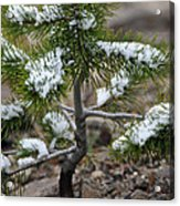 Snow On Baby Pine Tree In Yellowstone Acrylic Print