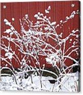 Snow On Burdock Burr Weed Against Red Barn Siding Acrylic Print