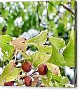 Snow On Green Leaves With Red Berries Acrylic Print