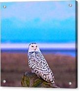 Snow Owl At Sunset Acrylic Print