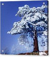 Snow Pine Acrylic Print