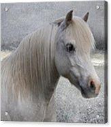 Snow Pony Acrylic Print