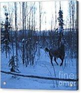 Snow Prancer Acrylic Print by Elizabeth Stedman