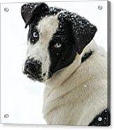Snow Puppy Acrylic Print