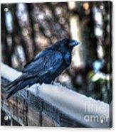 Snow Raven Acrylic Print by Skye Ryan-Evans