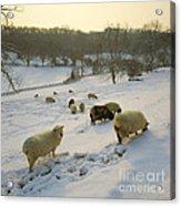 Snow Sheep  Acrylic Print