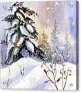 Snow Spruce I Acrylic Print