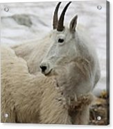 Snow White Mountain Goat Acrylic Print