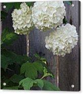 Snowball Flowers Acrylic Print