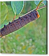 Snowberry Clearwing Hawk Moth Caterpillar - Hemaris Diffinis Acrylic Print