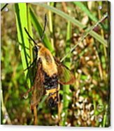 Snowberry Clearwing Acrylic Print
